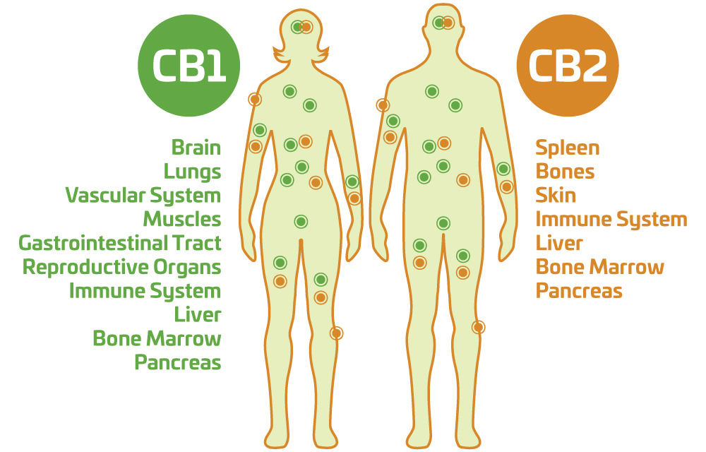 Image result for cbd and immune system